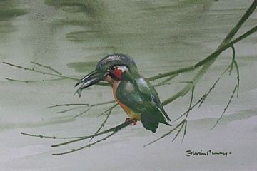 Edwin Penny Original Watercolour Painting Of A Kingfisher